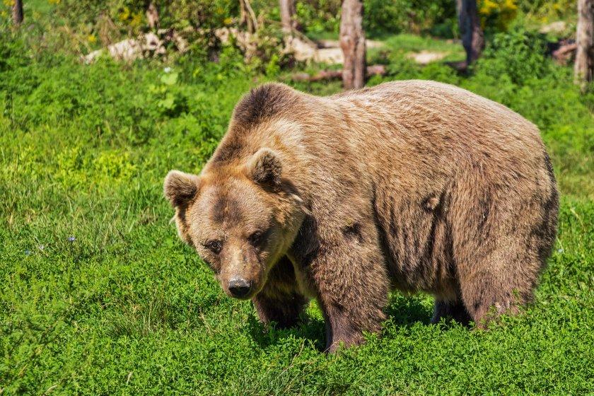 Как да опазим популацията на кафявите мечки