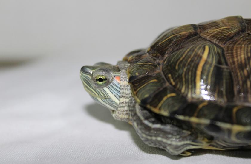 Хора масово изхвърлят домашните си костенурки