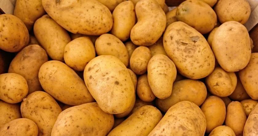Хиляди тонове картофи стоят неприбрани по полетата в Самоковско