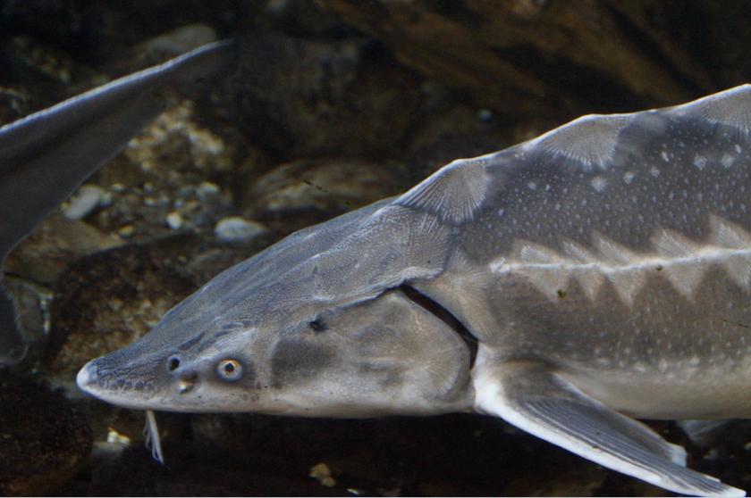 Във Варненско за есетрови риби