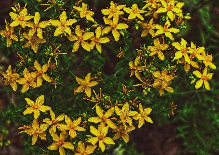 По пътеките на родните лечебни растения