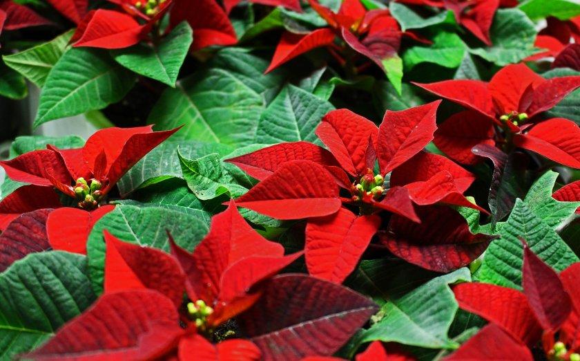 Коледната звезда – цветето на Рождество