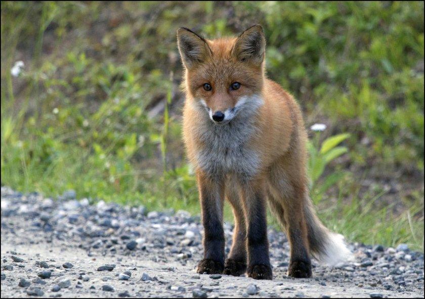 Сигнали за лисици, които се разхождат нощно време в Русе