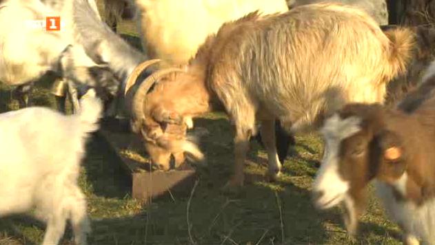 На границата между хоби животновъдството и професионалното фермерство