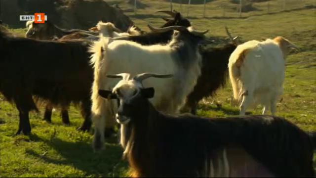 На гости в щастлива ферма за породата малашевски дългокосмести кози