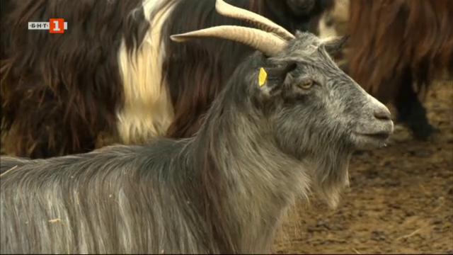 Къде е фермата, от която тръгна месодайното козевъдство в България?