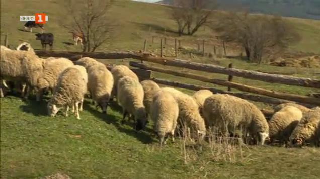 Брезнишки овце - някога най-ценената стока на Солунския пазар