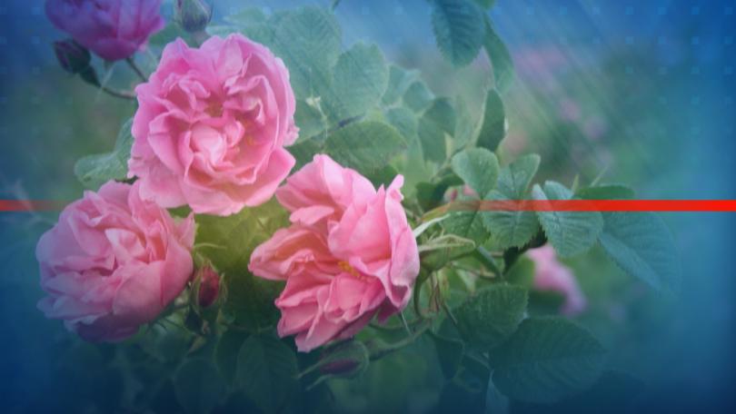 Преди празника на розата