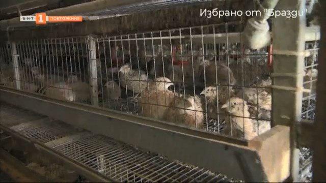"""Избрано от """"Бразди"""": Най-голямата ферма за пъдпъдъци в България"""