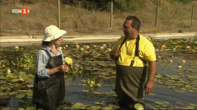 Единствената ферма за водни лилии на Балканския полуостров
