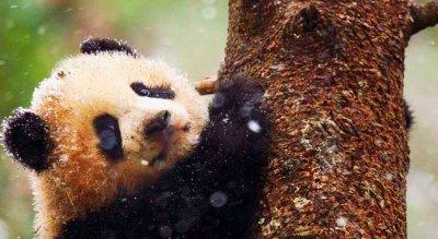 Гигантски панди, родени да бъдат диви