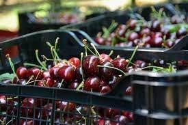 Без български череши на пазара поне още две седмици