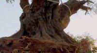 снимка 13 Маслиновото дърво