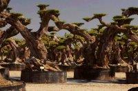 снимка 4 Маслиновото дърво