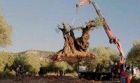 снимка 9 Маслиновото дърво