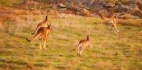 снимка 2 Чудото на торбестите бозайници