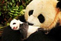 снимка 9 Гигантски панди, родени да бъдат диви
