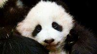 снимка 4 Гигантски панди, родени да бъдат диви