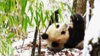 снимка 8 Гигантски панди, родени да бъдат диви