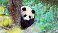 снимка 1 Гигантски панди, родени да бъдат диви
